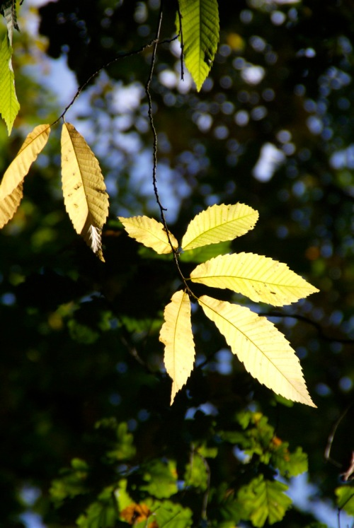 Golden chestnut leaf