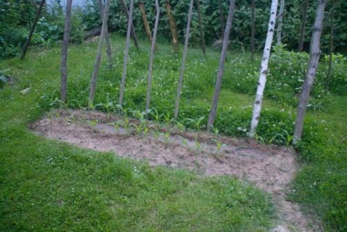 Bohnenzelt bei Rückkehr: Der Mais ist mangels Gießens nicht sehr groß geworden und die wenigen Bohnen, die gekommen sind, sind verdorrt oder von Schnecken abgefressen worden.