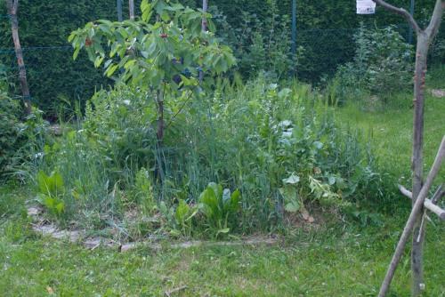 Baumscheibe um den Süßkirschbaum - alles ist massiv gewachsen.