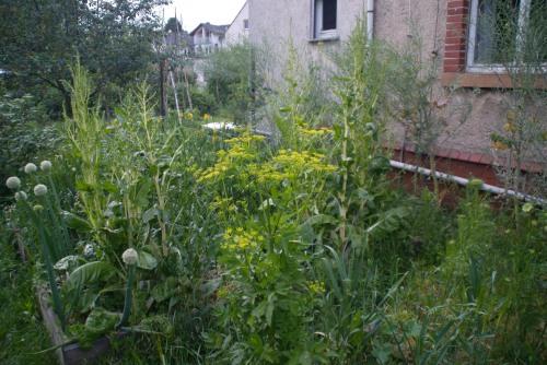 Nachher: Der Mangold und der Kohl, die wir haben Blüten bilden lassen, produzieren jetzt fleißig Samen und sind riesig geworden.