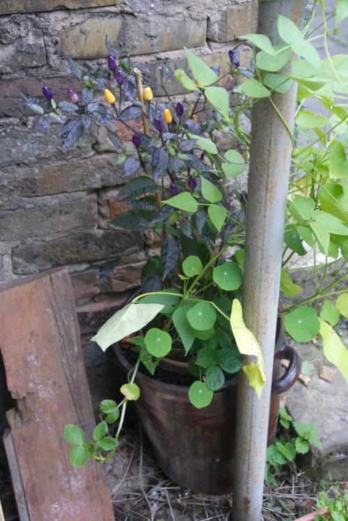 Ein alter Sauerkrauttopf wird auch zum Blumenbottich