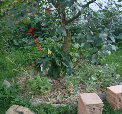 Kürbis im Kirschbaum